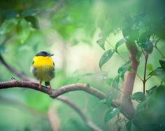 A Cute Yellow Bird. Prints come in 10 sizes! #Print #ForSale #Etsy #EtsySeller #EtsyStore #EtsyShop #Photography #Nature #Bird #Yellow #Sitting #Branch #Green #Leaves #Tree #Cute #Small