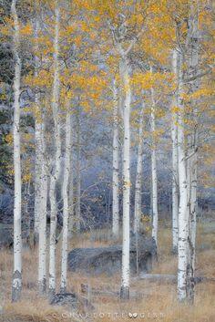 Aspens in fall (Eastern Sierra, California) by Charlotte Gibb on 500px