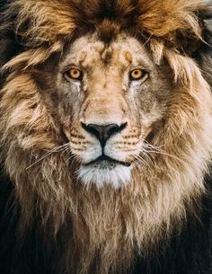 Portrait of a Beautiful Lion by Mike Kolesnikov on 500px