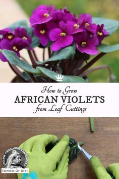 This simple method shows how to take leaf cuttings from African violets (Saintpaulias) to grow new plants. It's an easy way to have more of your plants you love and make extras to give as gifts.