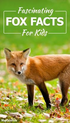 Are you searching for some interesting fox facts for kids? Well, then look no further! Here we have shared interesting information about foxes. Read on! Fox Facts For Kids, Fox Kids, Animal Activities For Kids, Animals For Kids, Nursery Activities, Fox Habitat, Fox Information, Fox Games, Fox Crafts