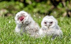 A pair of baby tawny owls were saved after the two balls of fluff fell 18 feet out of their nest. The owls were discovered on the side of a path by a father and son who were cycling in the Newmillerdam country park in Wakefield, West Yorkshire.