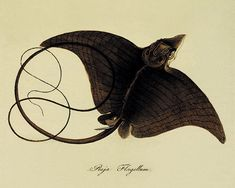Stingray Fish Vintage prints old prints Natural History Ocean Decor Antique Art Print Nature print victorian art 8x10 art print