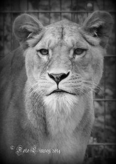 dier leeuwin