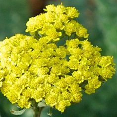 Achillea millefolium 'Moonshine' 1-3 ft height and spreads. grows in clumps.