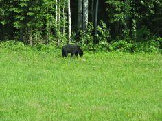 Black bear. Northern. B.C.