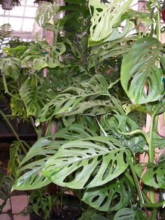 Swiss cheese plant- Monstera philodendron 10/22/2013