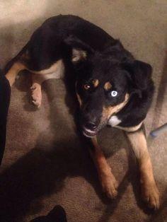 Found Dog - Rottweiler - Hamilton, ON, Canada L0R 1C0 on November 07, 2014 (13:00 PM)