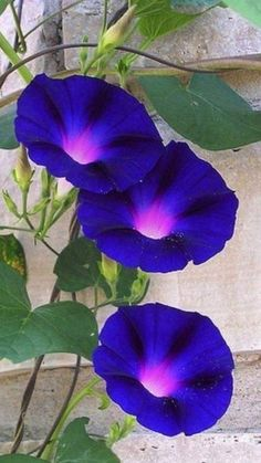 the common morning-glory Morning Glory Vine, Morning Glory Flowers, Morning Glories, Morning Glory Tattoo, Summer Flowers, Wild Flowers, Exotic Flowers, Beautiful Flowers, Dream Garden