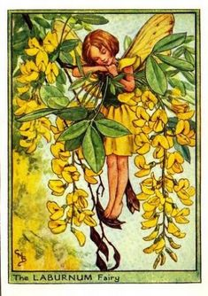 Laburnum Flower Fairy » Flower Fairy Prints- Vintage Fairy Prints by Cicely Mary Barker for sale