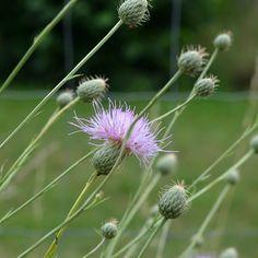 Serratula alatavica C. Seeds For Sale, Dandelion, Nursery, Garden, Flowers, Plants, Garten, Dandelions, Baby Room