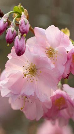 Prunus sargenti ❤ Pinned by Cindy Vermeulen. Please check out my other 'sexy' boards. X.