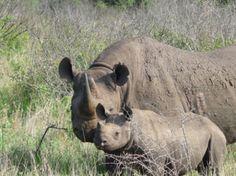 Rhino Walking Safari im Plains Camp mit Abendsonne Afrika. Das Plains Camp liegt im Mutlumuvi Konzessionsgebiet und wurde im Stil der Entdeckercamps gebaut. Die Zelte stehen unter Schatten spendenden Bäumen und mit Blick auf das nahe Wasserloch. Das Camp bietet Bushwalks an (maximale Teilnehmerzahl: 8 Personen). Auf Anfrage können auch Wildbeobachtungsfahrten unternommen werden.