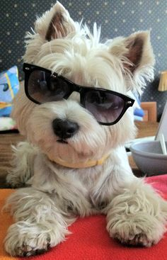 itsmesara:      Kiki disguising herself as Justin Bieber    OH MY GOD    this is my all time fave pic.     a westie in sunglsses, i mean.. come on