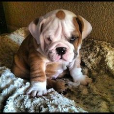 Grumpy bulldog puppy Horton Horton Brown H. Cute Baby Animals, Animals And Pets, Funny Animals, Cute Puppies, Cute Dogs, Dogs And Puppies, Doggies, Terrier Puppies, Boston Terrier