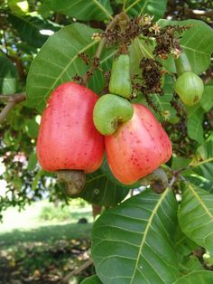 Cashew Apple ( Anacardium occidentale L.)