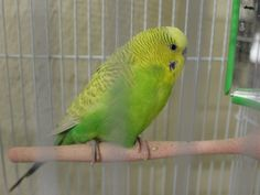 Lemon (ID: A393260) is a beautiful parakeet that is ready to find a home. Lemon was left behind when some tenants moved out. This is a nice bird that deserves a home -- be the one to come and get him.