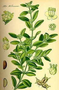 boxwood herb