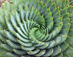 Would love one of these Spiral Aloes, if I learn not to kill.  (Aloe polyphylla).
