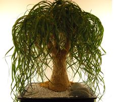 Beaucarnea recurvata, the Ponytail palm, Maybe something like this for the one in Maya's room.