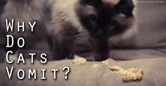 Learn how to treat a vomiting cat and find out why a cat vomits. http://healthypets.mercola.com/sites/healthypets/archive/2010/11/09/vomitting-pet-cat-health.aspx