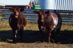 Shorthorn heifers