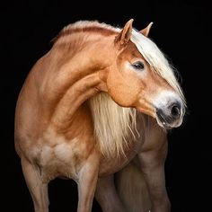 Horse portrait against black background, with blonde hair Haflinger Horse, Akhal Teke Horses, Appaloosa Horses, Dressage Horses, Breyer Horses, Horses And Dogs, Cute Horses, Horse Love, All The Pretty Horses