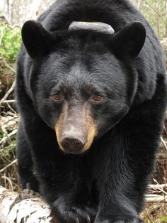 This is one of the prettiest black bears I've ever seen. Her name is Dot. She lives near Ely, MN, and she has two new cubs this year. She's one of the bears being studied by the North American Bear Center.