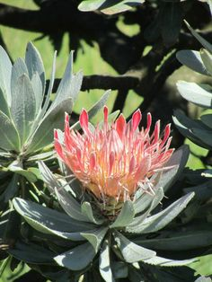 A gorgeous Protea in phase