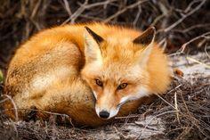 Red Fox by Kristin Castenschiold