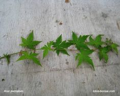 There are many ways to propagate maples for bonsai, from April to the end of August, I mainly use the propagation by cuttings for many varieties of maples. Cuttings, Propagation, Japanese Maple Tree Care, Bonsai, Gardens, Herbs, Floral, Garden, Plant Cuttings