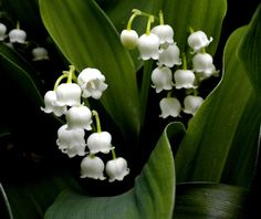 Lily Of The Valley, The Flower Of May: http://blog.avasflowers.net/lily-of-the-valley-flower-of-may