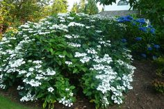 White lace cap hydrangea   in foreground...  (by Frenchflair traditional landscape)