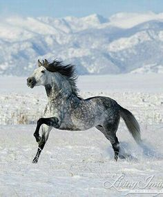 Andalusian in the snow. Living  Images by Carol Walker
