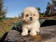 Adorable Pekepoo Puppy