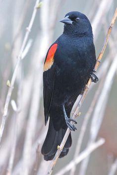 Red-winged Blackbird ( Agelaius phoeniceus )