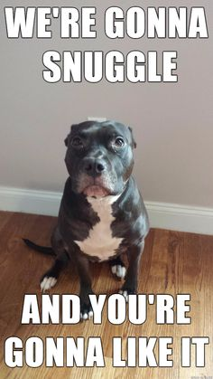 Why buy an American Pit Bull Terrier puppy for sale if you can adopt and save a life? Look at pictures of American Pit Bull Terrier puppies who need a home. Funny Animal Memes, Dog Memes, Funny Animal Pictures, Funny Dogs, Funny Animals, Cute Animals, Funny Memes, Puppy Meme, Pitbull Meme