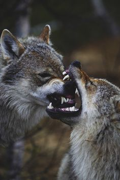 not exactly sure what is transpiring... but wolves are fascinating