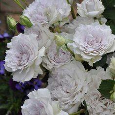 """本日の薔薇""""  ^^  ガブリエル [Gabriel] 日本 河本バラ園作 2008年   受胎告知の天使として知られる四大天使の一人、その御名はガブリエル。ピュアなホワイトの花弁をふんわりと広げ、波打ちながら重なり合い、ロゼット調に咲かせます。花色は、季節や栽培条件によっては、微妙に薄紫を滲ませます。涼しげなフローラルな香り。枝はしなやかにも直立、花を支え軽くしなる様に、清涼さすら感じえます。   花径:7cm 樹高:1.0m 花季:四季咲き その他:香⇒豊かな香り  ※京阪園芸ガーデナーズの河本バラ園ブランドロ-ズはこちらから→ http://www.keihan-engei-gardeners.com/fs/keihangn/c/kawamoto"""