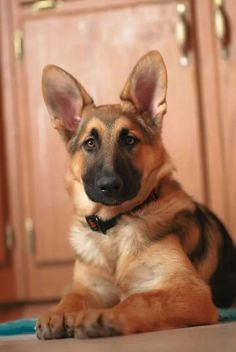 Beautiful young German Shepherd