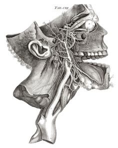 Dissecting a Human Head Through Anatomical Illustrations Science Experiments :: WonderHowTo Drawing The Human Head, Human Anatomy Drawing, Drawing Faces, Art Drawings, Medical Drawings, Medical Art, Medical Illustrations, Medical School, Art Illustrations