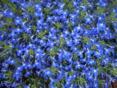 The heat-tolerant, upright, blue variety of 'Techno™' Lobelia has been a popular plant for Texas gardeners who come to Calloway's and Cornelius Nursery.  It's a great performer that comes in a trailing variety and in additional colors.  www.calloways.com
