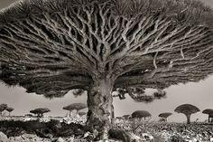 As Velhas Árvores do Mundo …