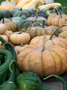 Rumbo pumpkins.  Hmm...so beautiful...might have to plant them sometime.