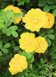 Péče o růže, řez růží, výsadba a odrůdy růží - Březen