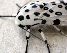 """Giant Leopard Moth (Hypercompe scribonia)"""