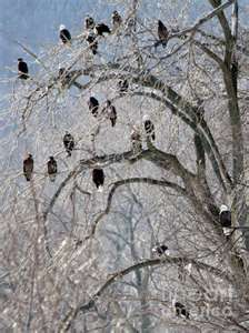 The eagles at Starved Rock State Park are awe inspiring to see. They just don't look real!