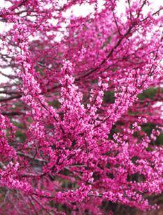 redbud tree, cercis canadensis,cercis tree, red bud tree, planters, statues…