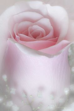 Soft pink rose with babies breath.