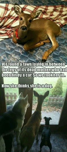 Funny pictures about Deer Are Fine Pets. Oh, and cool pics about Deer Are Fine Pets. Also, Deer Are Fine Pets photos. Cute Funny Animals, Funny Animal Pictures, Funny Cute, Funny Dogs, Cute Dogs, Cute Pictures, Funny Memes, Memes Humor, Baby Pictures